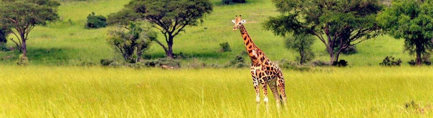 girafe_savane_ouganda_exploration_production_total