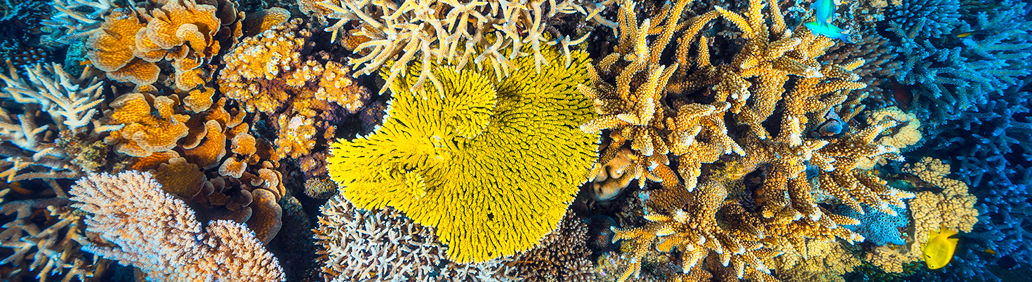 Corals in Indian Ocean - Gaby Barathieu - Coral Reef Image Bank