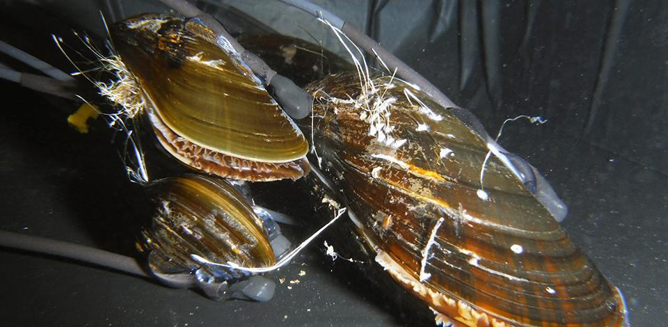 Blue mussels Mytilus edulis equipped with HFNI Valvometry electrodes, used for 2 years in coastal site (Dalnie Zelentsy, North-East Murmansk) at 16-meter water depth (Barents Sea, Russian Arctic) - Exploration Production - Total